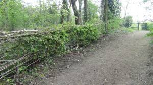 Our hedge laying worked